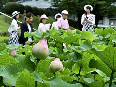 花ハス鮮やか雨に映え 福井県南越前町「はすまつり」