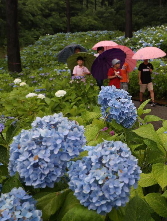 見頃を迎えたアジサイを眺める人たち=30日、長岡市の国営越後丘陵公園