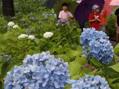 雨にぬれ濃淡映え アジサイ見頃 長岡・丘陵公園