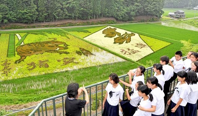 えとのイノシシの図柄などが水田に浮かび上がった田んぼアート=7月2日、福井県越前町樫津