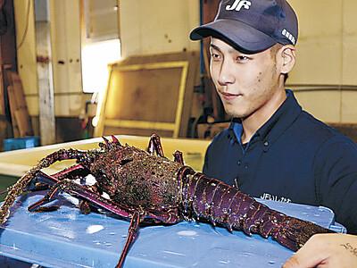 輪島にイセエビ 水揚げ、漁業関係者驚き