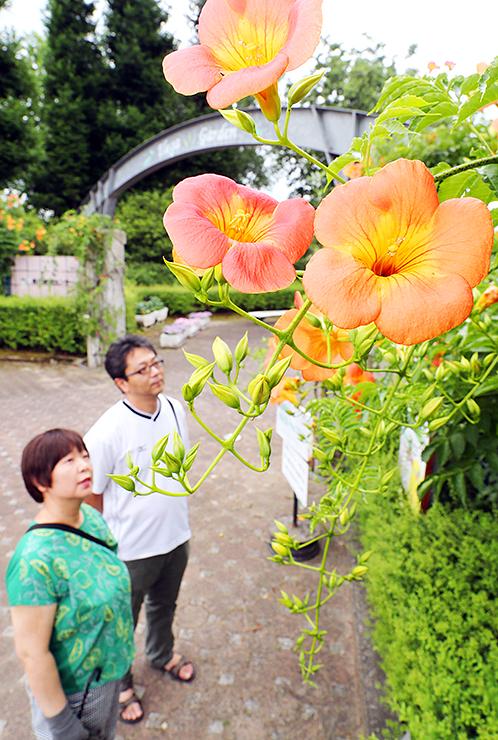 オレンジ色の花を咲かせるノウゼンカズラ=県花総合センター