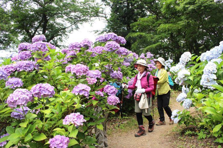 満開を迎えた護摩堂山山頂の「あじさい園」=9日、田上町