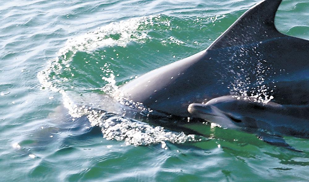 親イルカと泳ぐ赤ちゃんイルカ=七尾湾
