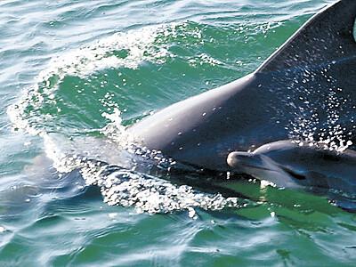 七尾湾に赤ちゃんイルカ 5年連続誕生