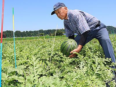 「朝日すいか」収穫始まる 富山・婦中特産