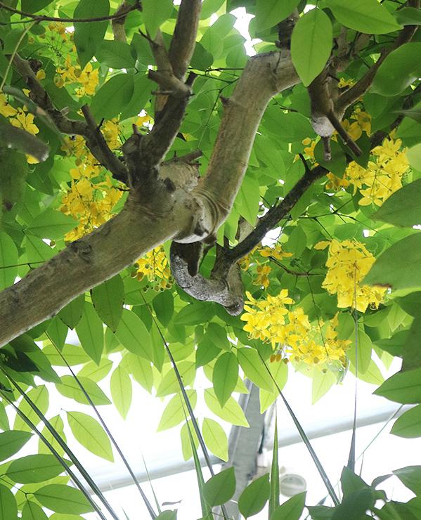 10年ぶりに開花し見頃を迎えているナンバンサイカチ