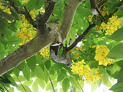 ナンバンサイカチ10年ぶり開花 県中央植物園
