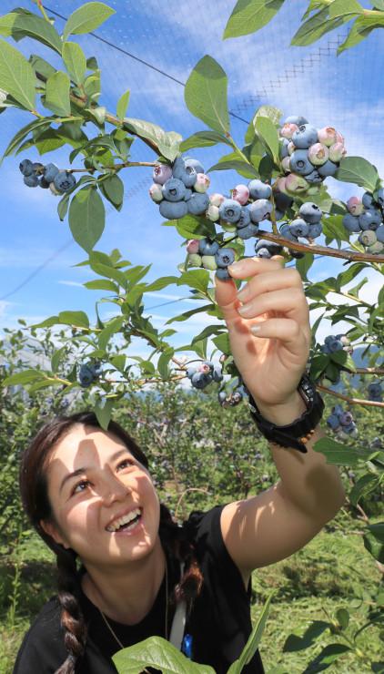 大ぶりな実が収穫できる果樹園=12日