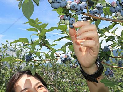 摘んだブルーベリーでガレット作り 松川町が体験メニュー