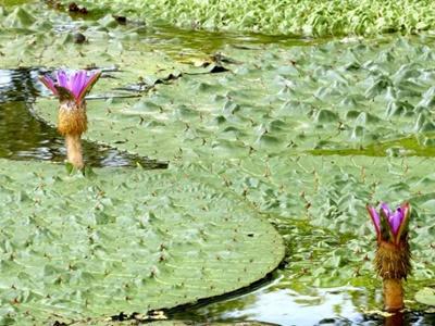 水面にかれんな紫 福島潟、オニバス見頃 新潟市北区