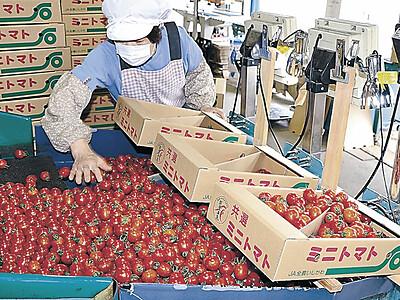 能登ミニトマト品質上々 穴水で出荷最盛期
