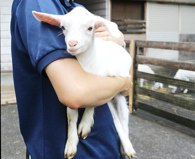 飼育員に抱かれるシバヤギの赤ちゃんナツ