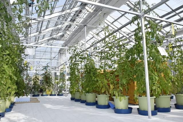 約10種類のトマトを植栽している「展示ハウス」=7月17日、福井県美浜町久々子