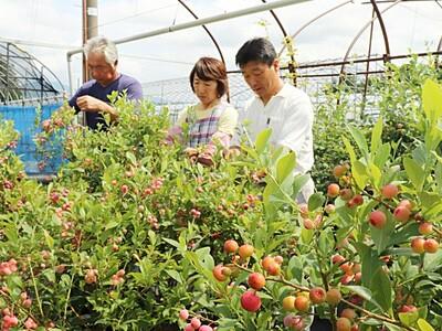 変わり種ブルーベリーいかが 新発田の農園摘み取り体験