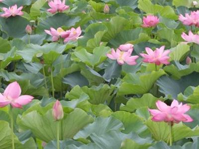 「東洋一」咲き誇る 7月20日から蓮まつり 上越