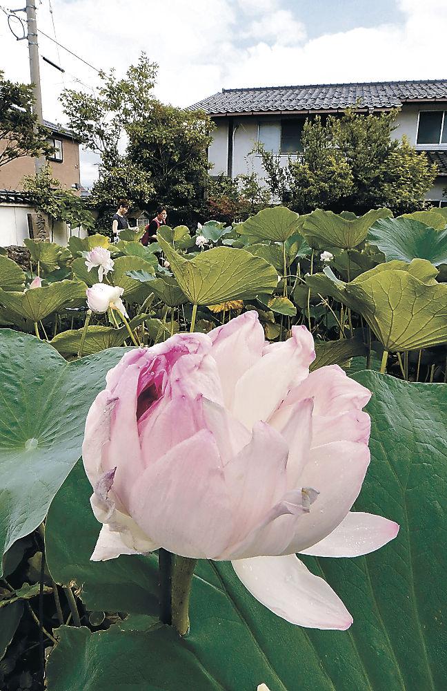 淡いピンクの花を咲かせた妙蓮=神宮寺3丁目