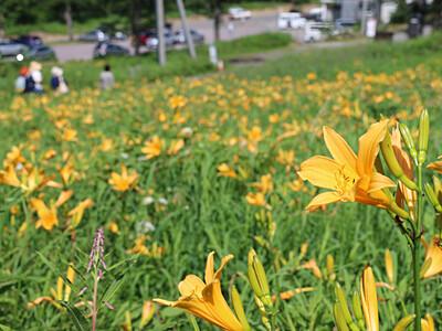 緑と黄色、真夏の競演 高峰高原でニッコウキスゲ見頃