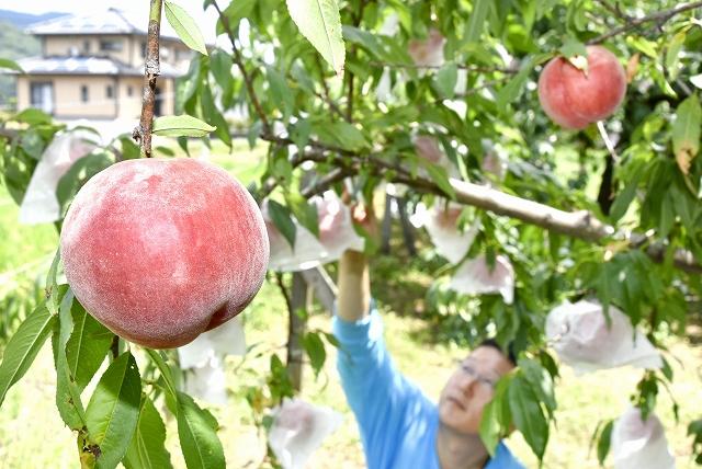 赤く実ったモモ「あまとう2号」。収穫作業はピークを迎えている=7月30日、福井県おおい町小車田の「桃園ぴーちふる」