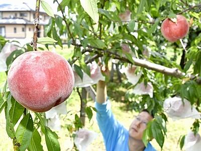 熟れたモモ甘~いよ 福井・おおいの「桃園ぴーちふる」で収穫ピーク
