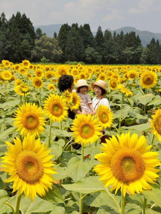 太陽に向かって咲き誇るヒマワリ=津南町の「ひまわり広場」