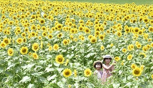 見頃を迎え、黄色に染まったヒマワリ畑=8月6日、福井県小浜市加茂