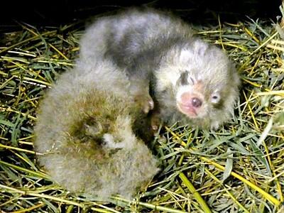 レッサーパンダ 双子誕生すくすく 福井の鯖江市西山動物園