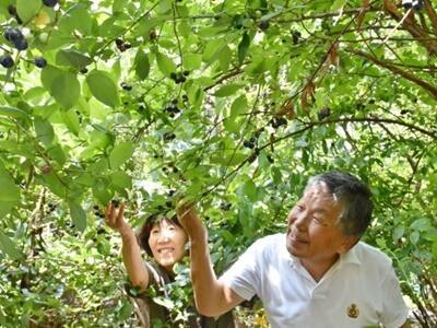 妙高 ブルーベリー狩り 甘い実木陰で食べ比べ