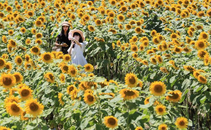 観光客らが写真撮影などを楽しんでいるヒマワリ畑