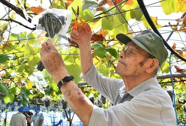 旬を迎えたバッファローを切り取るブドウ狩りの参加者=8月7日、福井県越前市中山町の観光農園「どんぐり山」