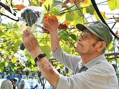 種類充実、ブドウ狩りいかが 福井県越前市の「どんぐり山」