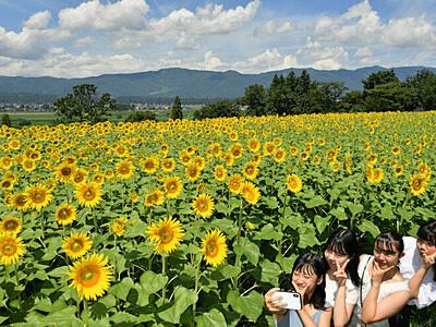 飯山、夏はヒマワリ 菜の花公園