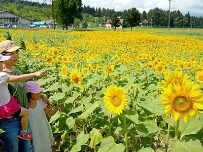 絶景 ヒマワリ100万本 妙高で庭園オープン