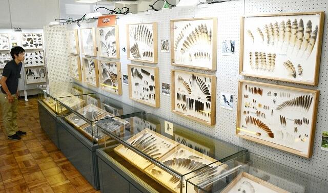 約70種の鳥の羽や鳥の剥製が並ぶ企画展=福井県の福井市自然史博物館