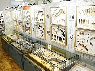70種以上の鳥の羽を展示 福井市自然史博物館