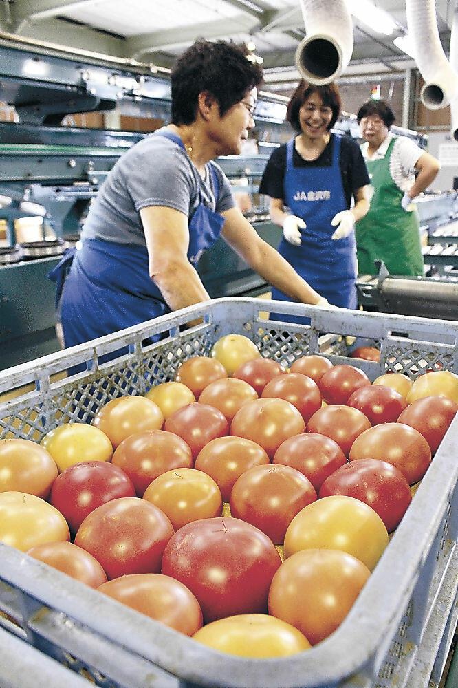 トマトの形、色、大きさを確認して選別する関係者=下安原町