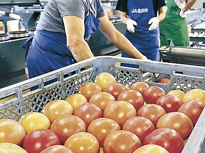金沢産トマト 暑さに負けず品質は上々