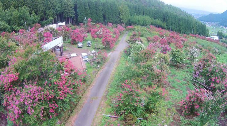 ピンクや白の鮮やかな花々に彩られた「サルスベリの丘」=20日午前10時23分、長野市若穂保科