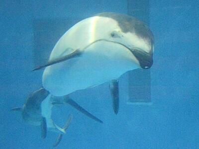 イルカの親子見にきて 8月29日から 新潟・マリンピア