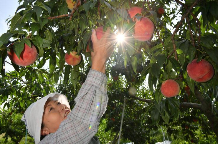 収穫が最盛期を迎えた川中島白桃=27日、長野市川中島町上氷鉋