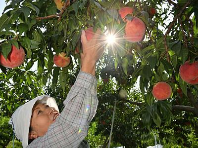 丸々実った「川中島白桃」 長野で収穫最盛期