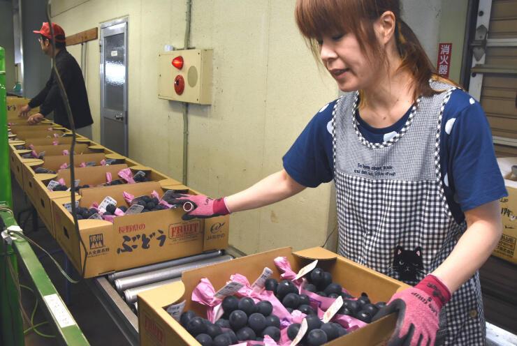 須坂共選所で品質を評価され、全国に出荷されるブドウ