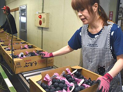 秋の味覚ブドウ、出荷始まる 須坂共選所「全体的に大粒に」
