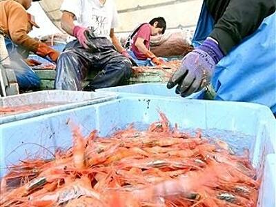 甘エビ豊漁 福井県内底引き網漁始まり 漁港に活気