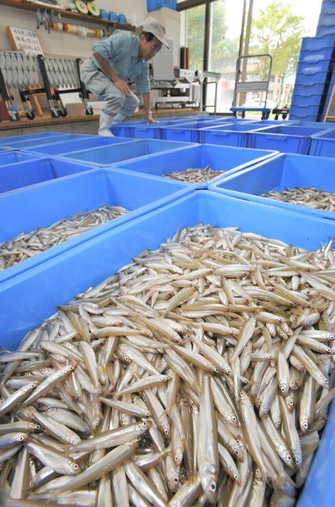 投網漁が解禁され、水揚げされた諏訪湖のワカサギ=2日、諏訪市
