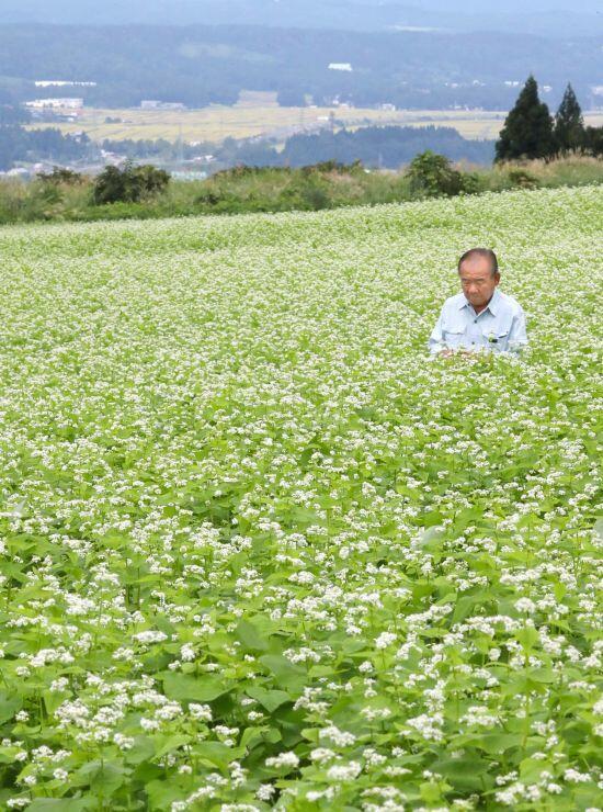 白い花と緑が一面に広がるソバ畑=4日、小千谷市の山本山高原