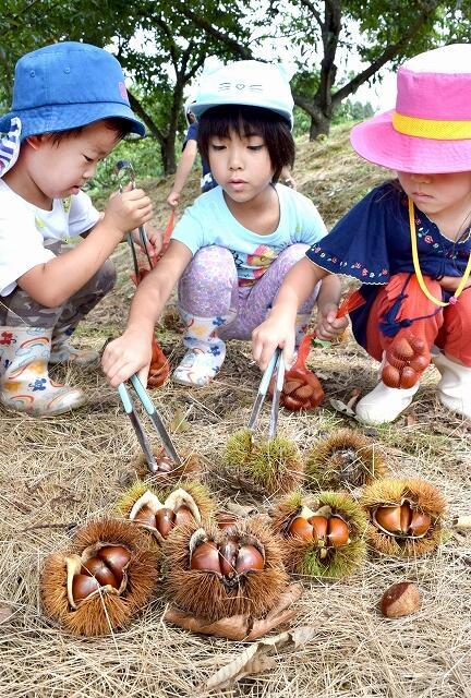 クリ拾いを楽しむ園児たち=4日、越前市黒川町の白山観光くり園