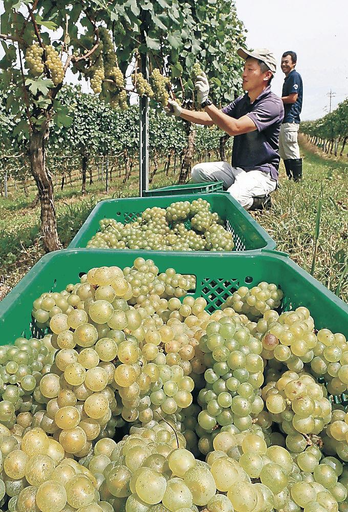 収穫されるワイン用ブドウ=穴水町旭ケ丘