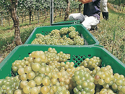 能登ワイン ブドウ収穫、醸造始まる
