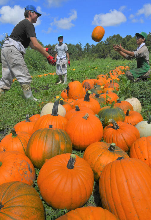 原村でハロウィーンに向けて収穫が進む観賞用カボチャ